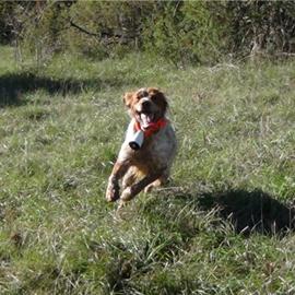 clos des jarousses, pension canine, dressage canin, élevage d'épagneuls breton