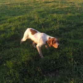 Clos des Jarousses - Élevage de chiens, épagneul breton